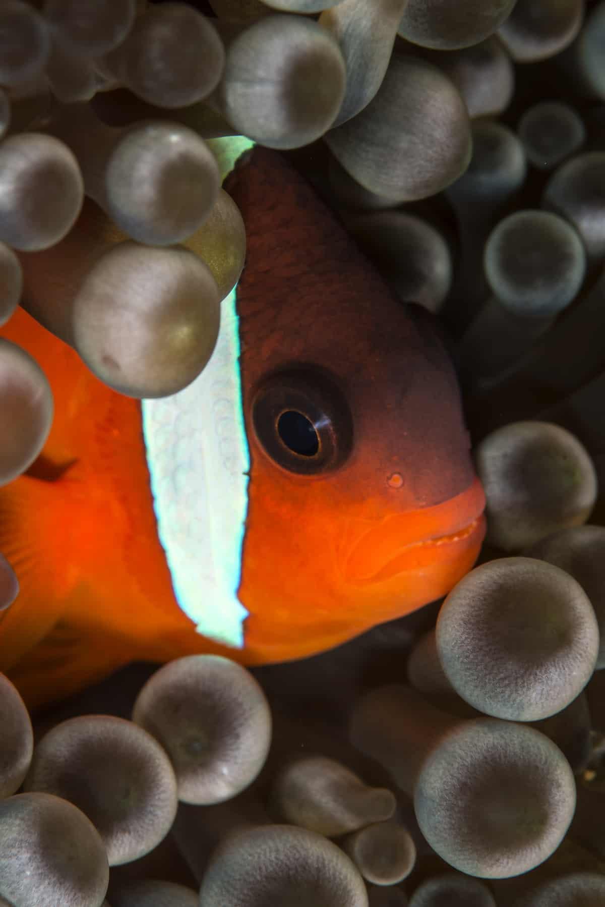Fiji anemonefish