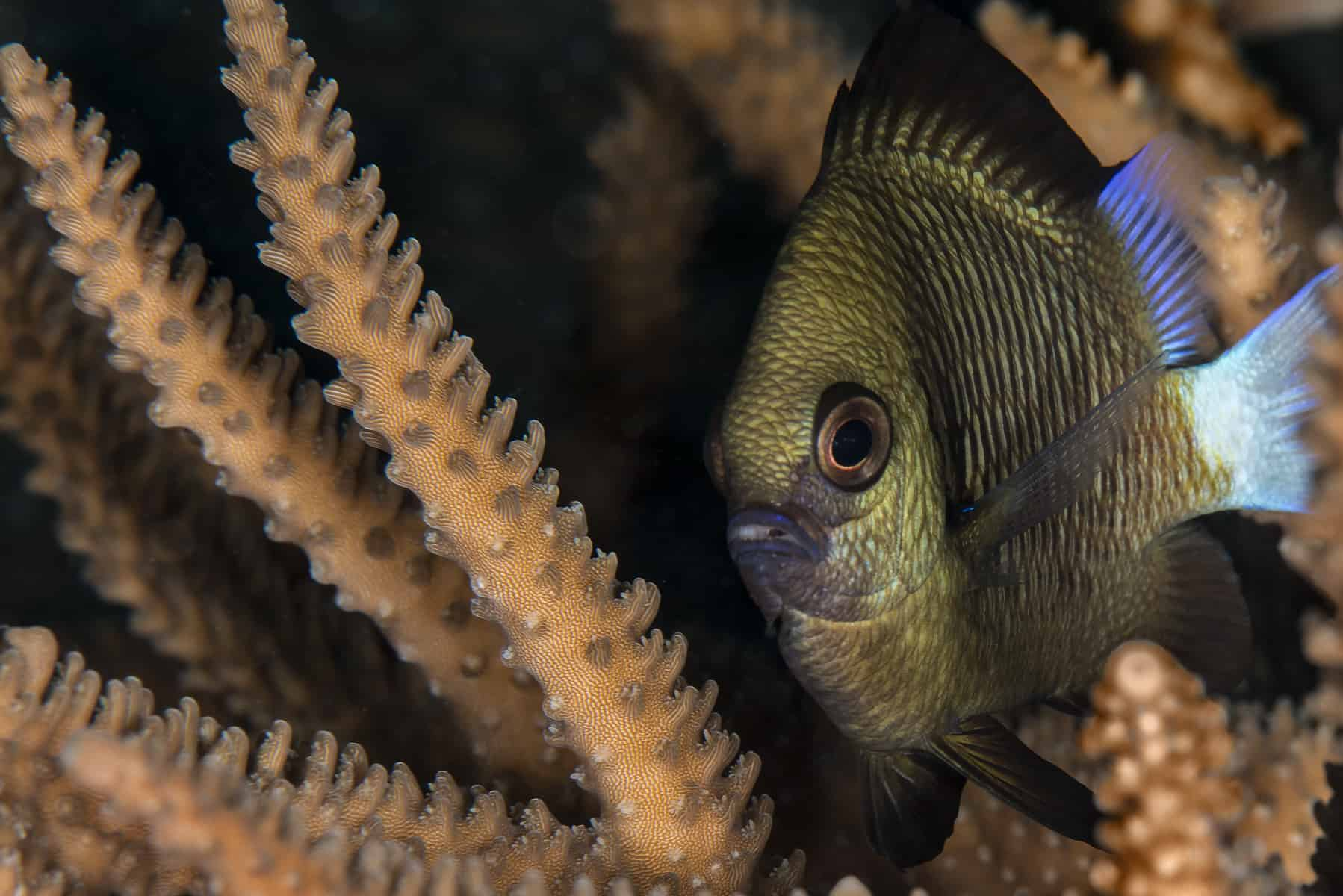 Blue-axil chromis