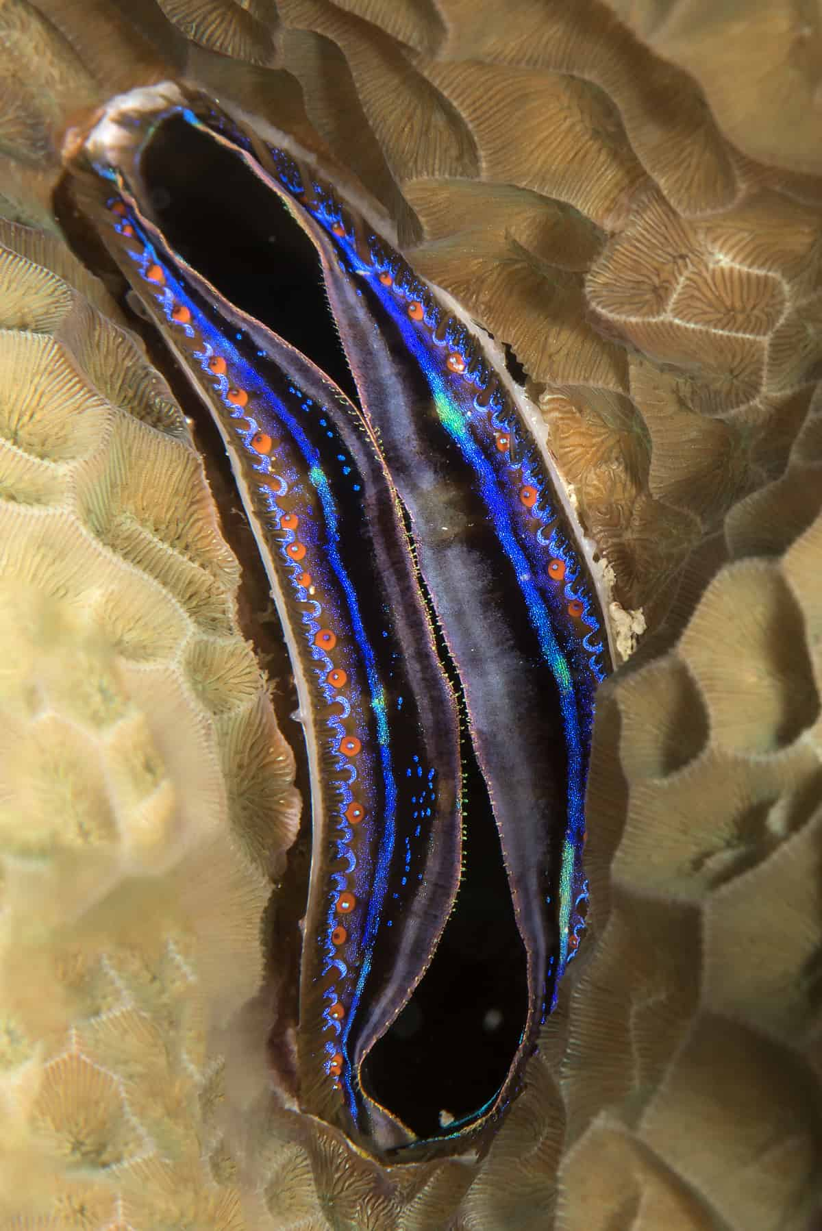 Iridescent scallop