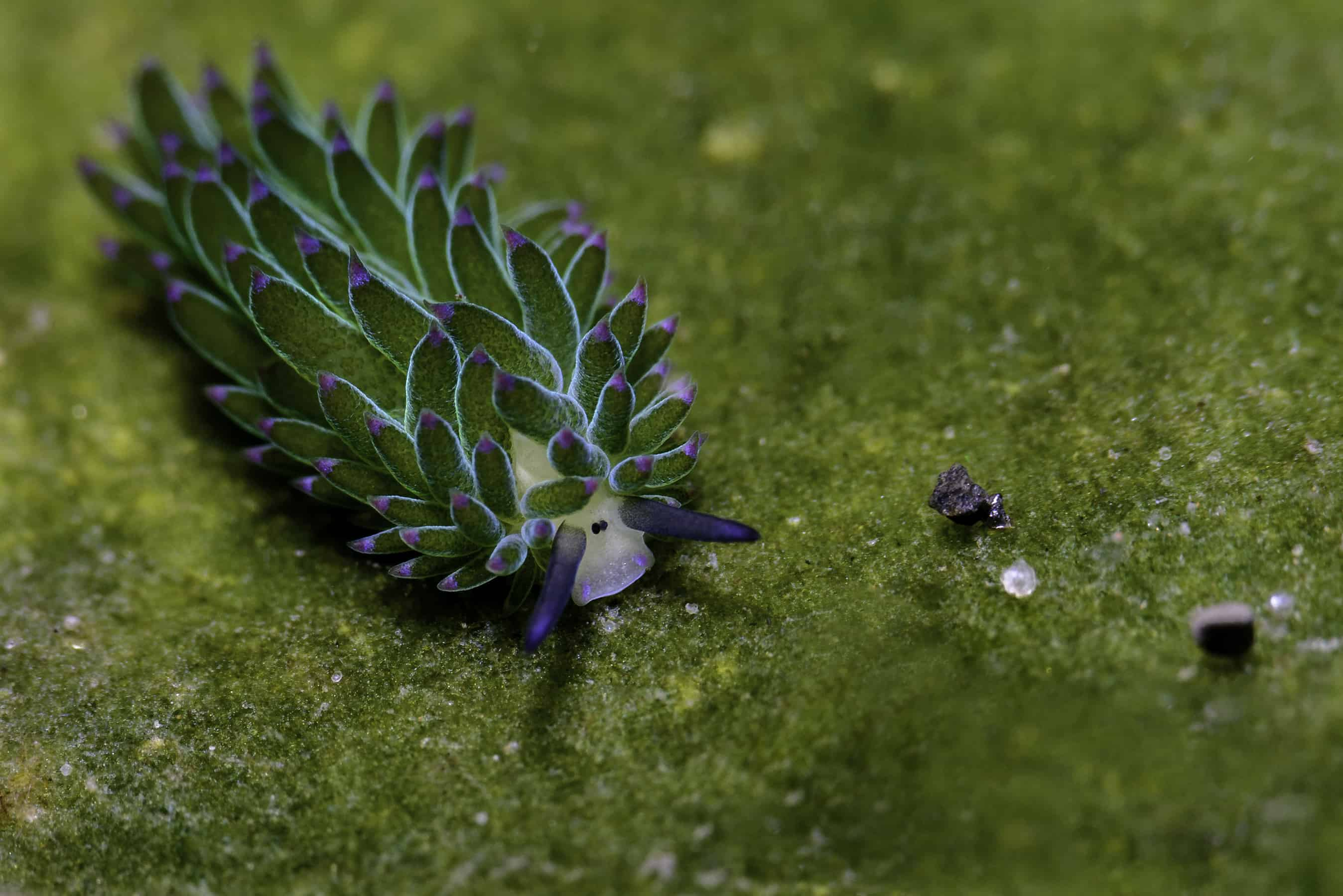 Sapsucking slug