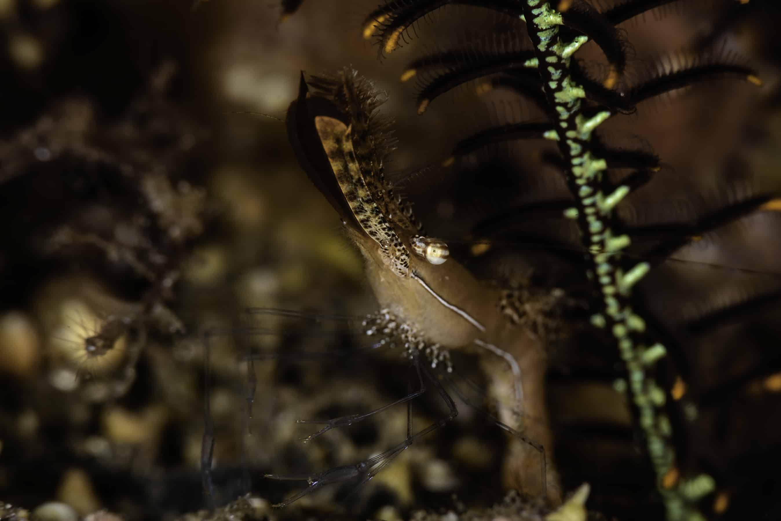 Longnosed rock shrimp