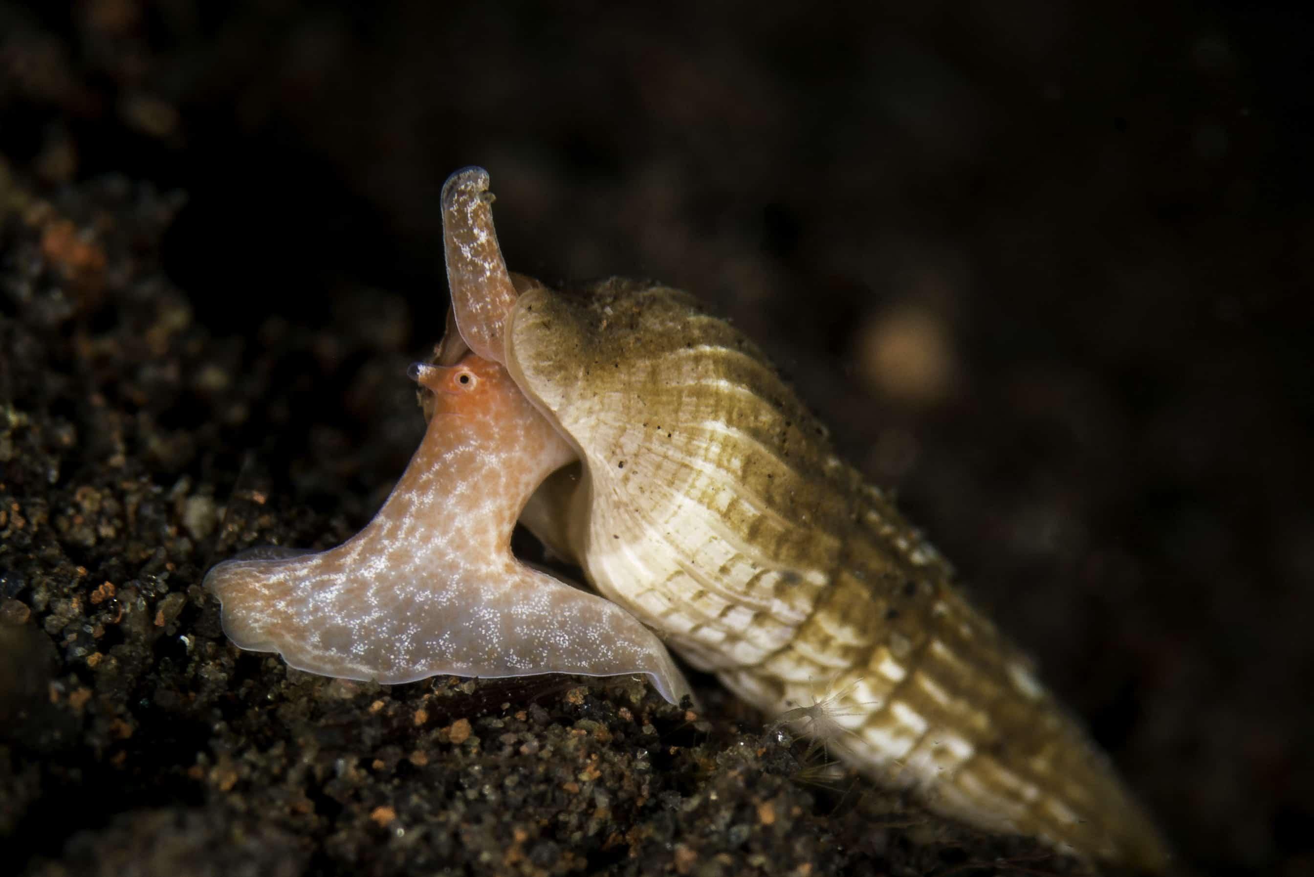 Pyramid Shell Snail