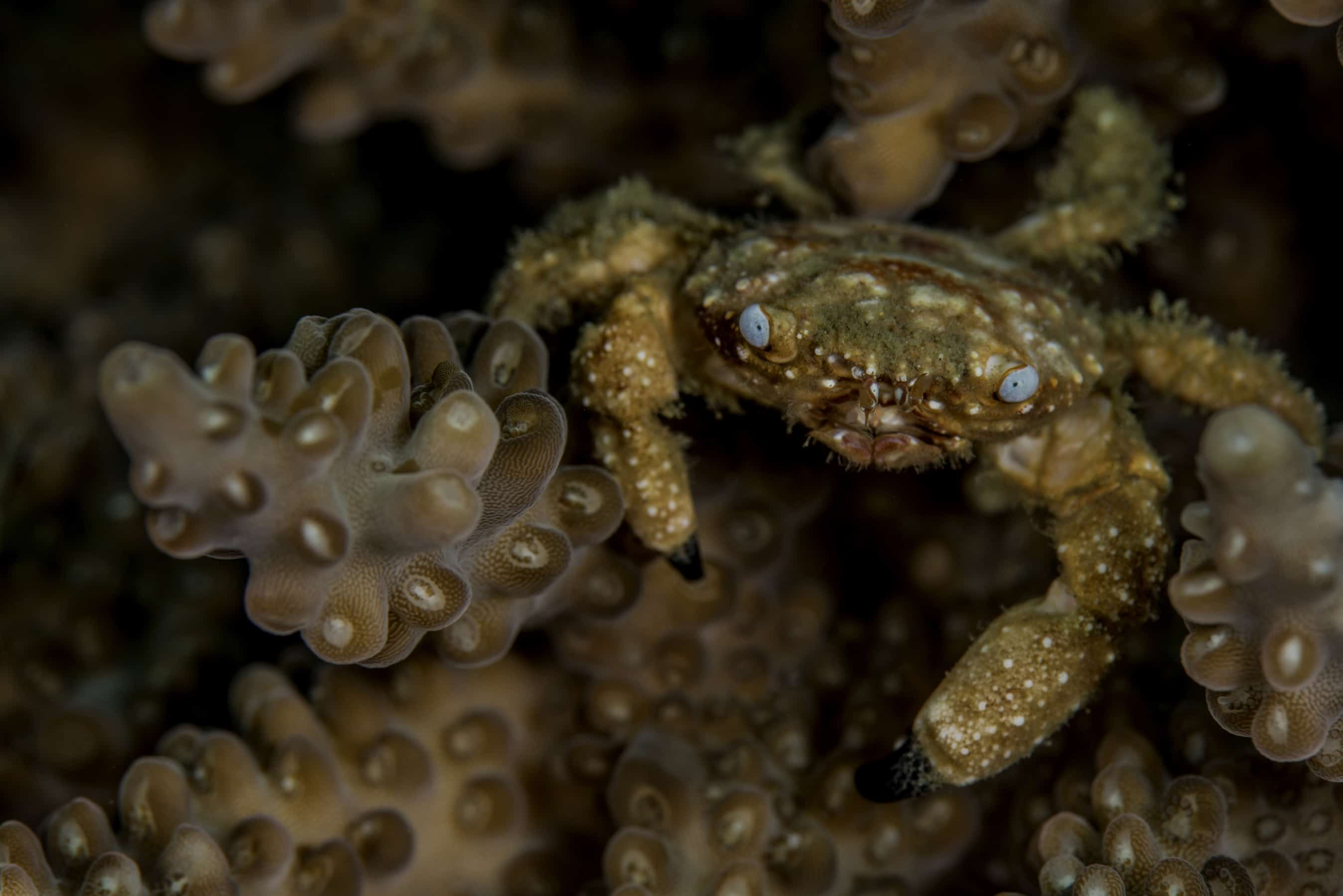 Blue-eyed-coral-crab