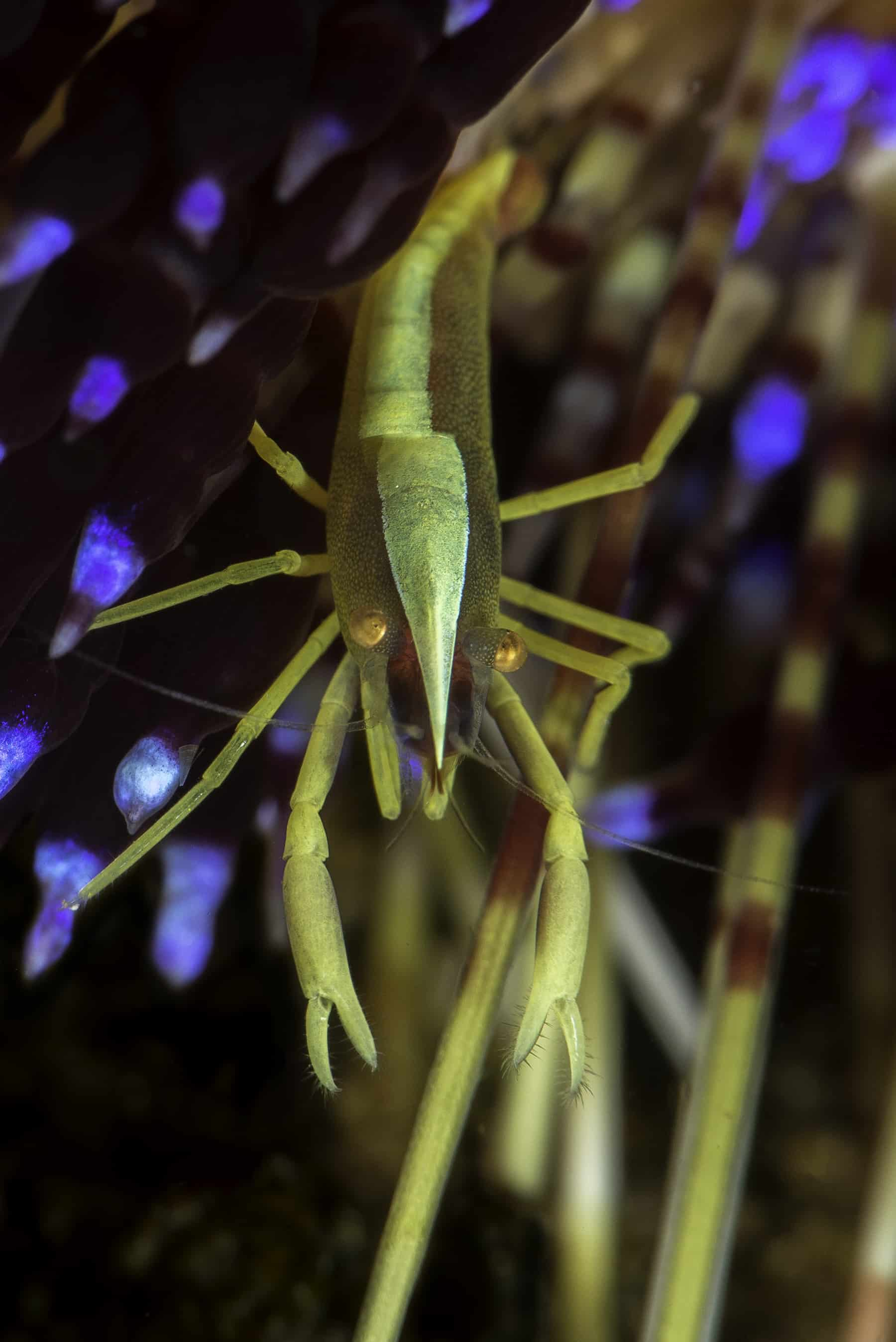 Brook's urchin shrimp