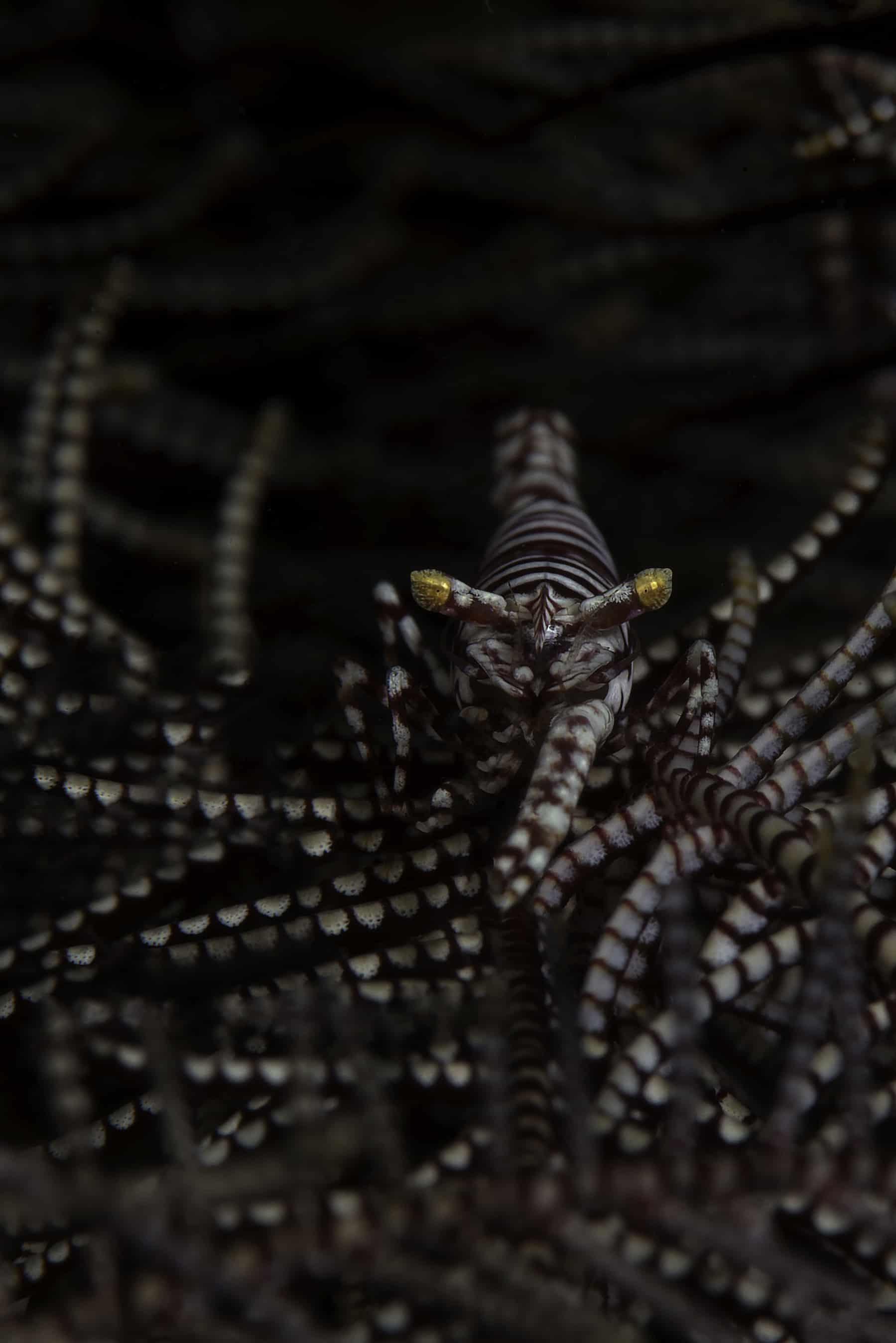 Leopard crinoid shrimp