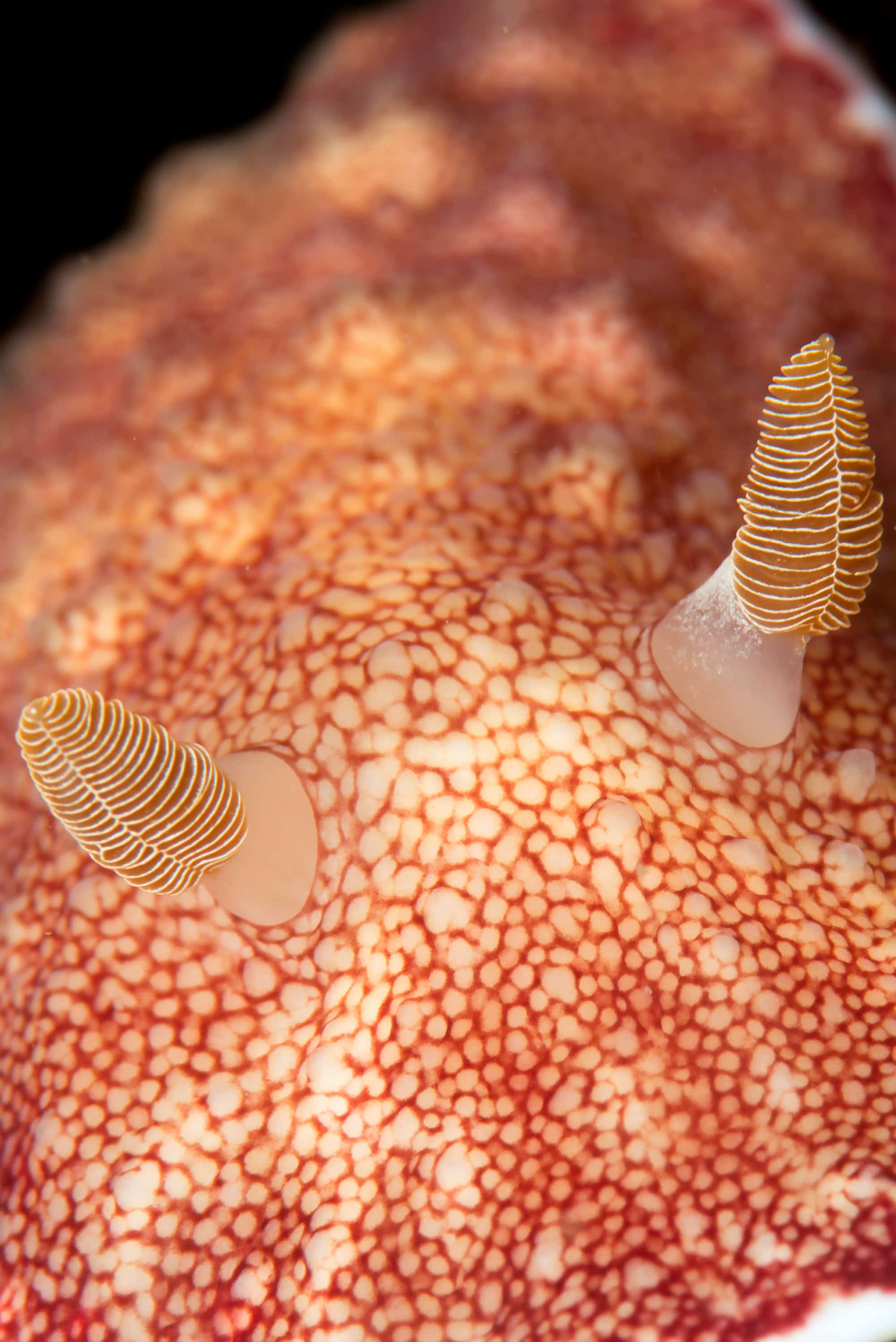 Reticulated chromodoris