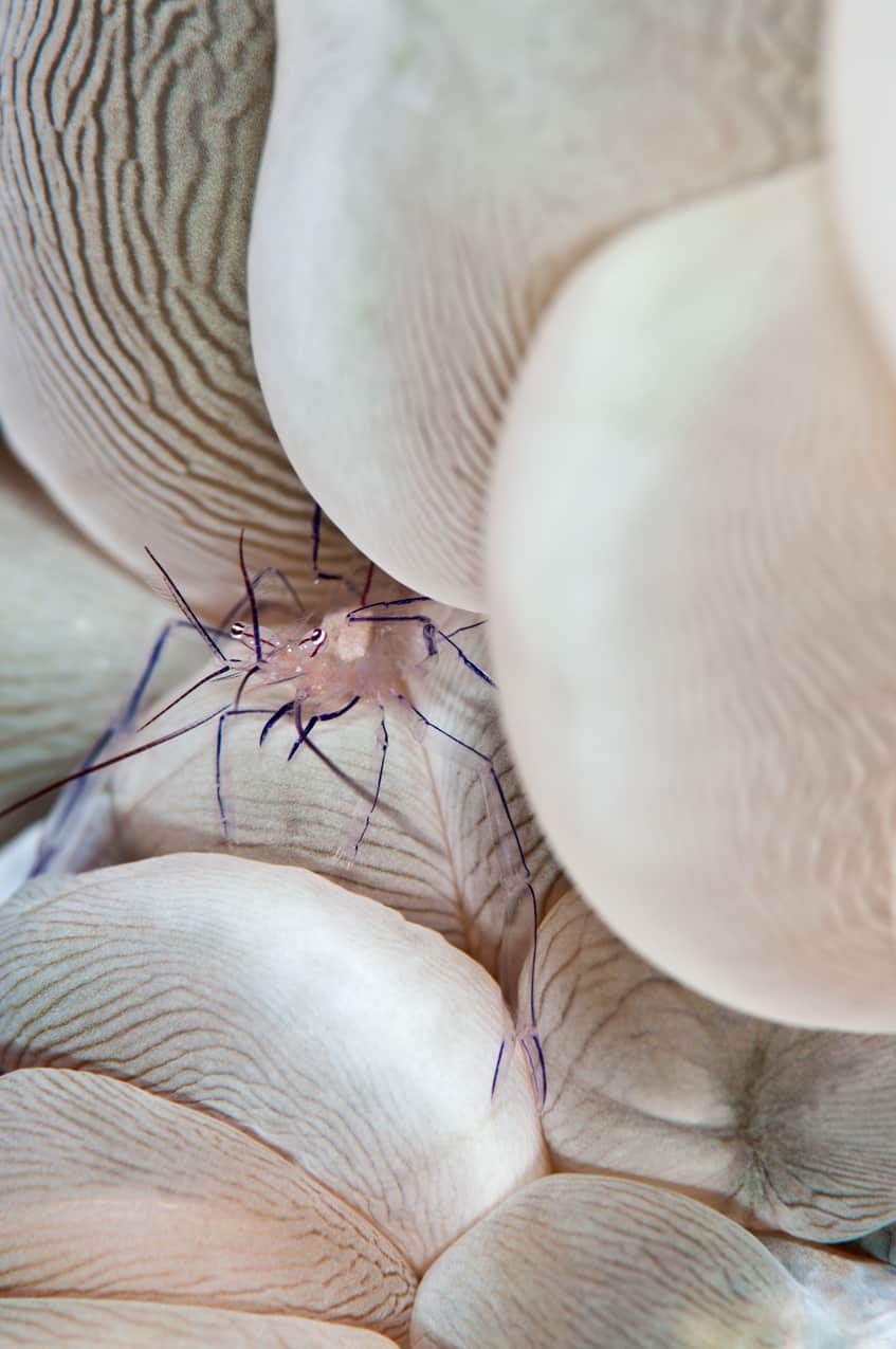 Bubble-coral-shrimp