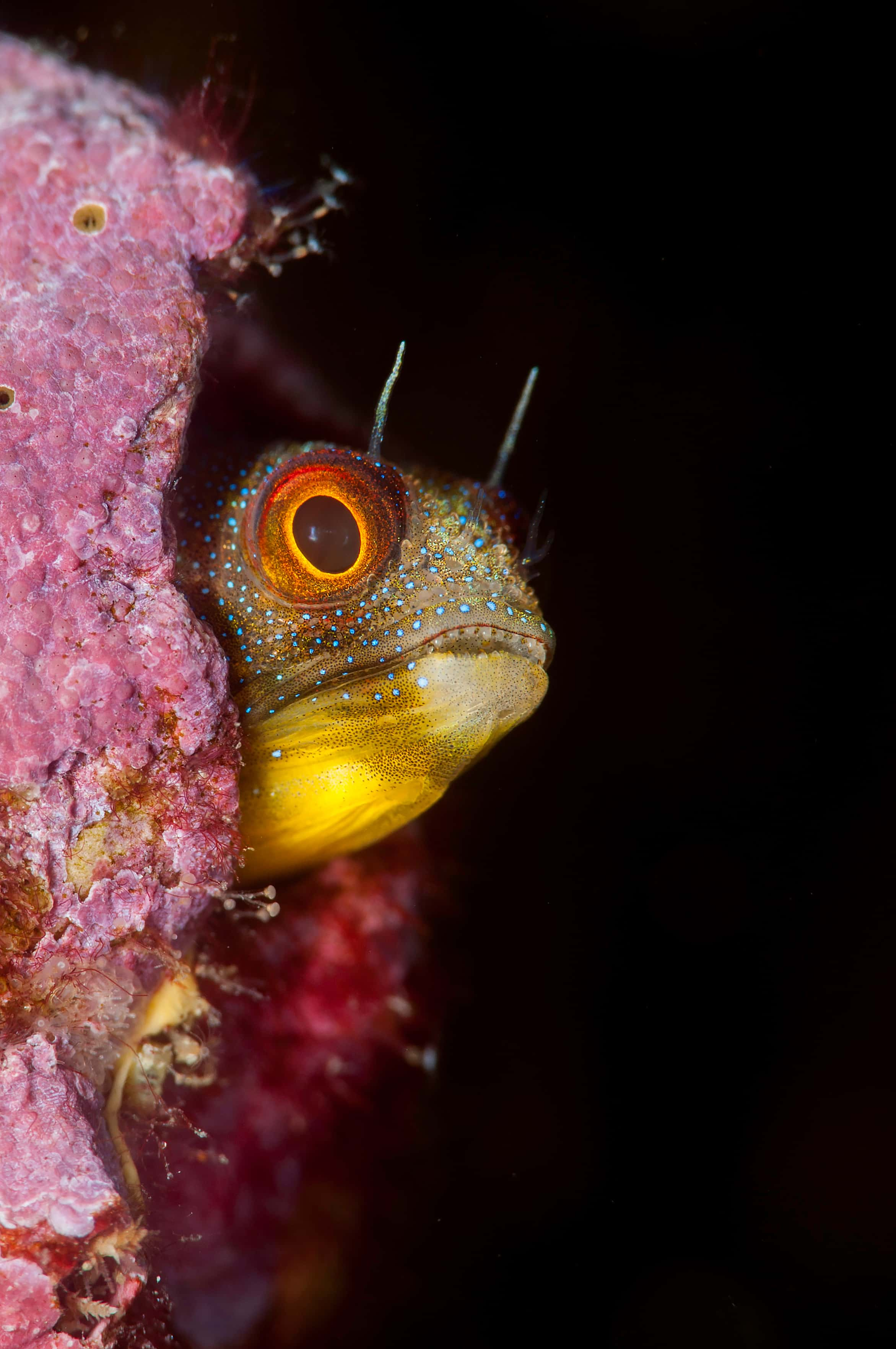 Cortez barnacle blenny