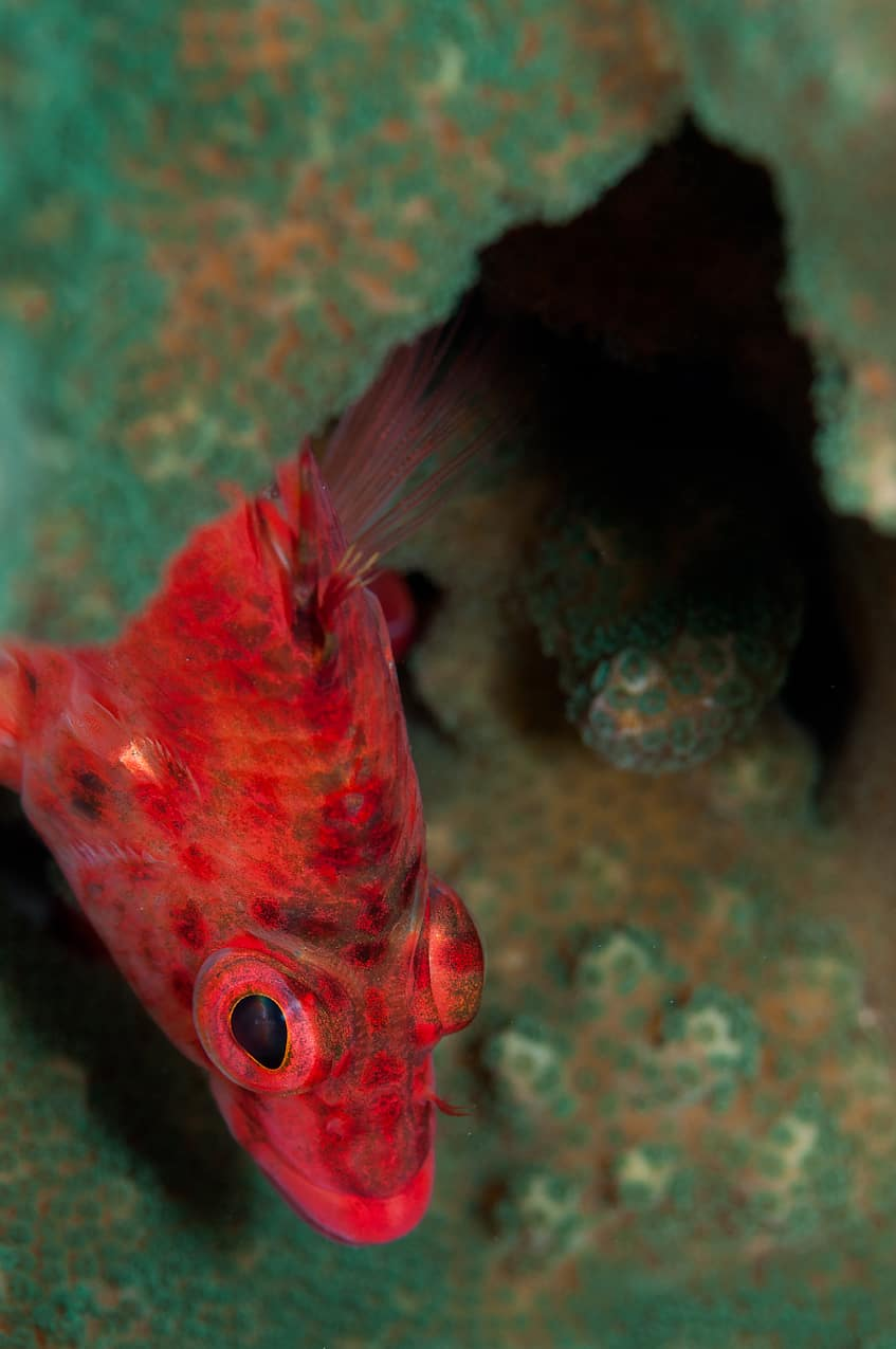 Dwarf squirrelfish