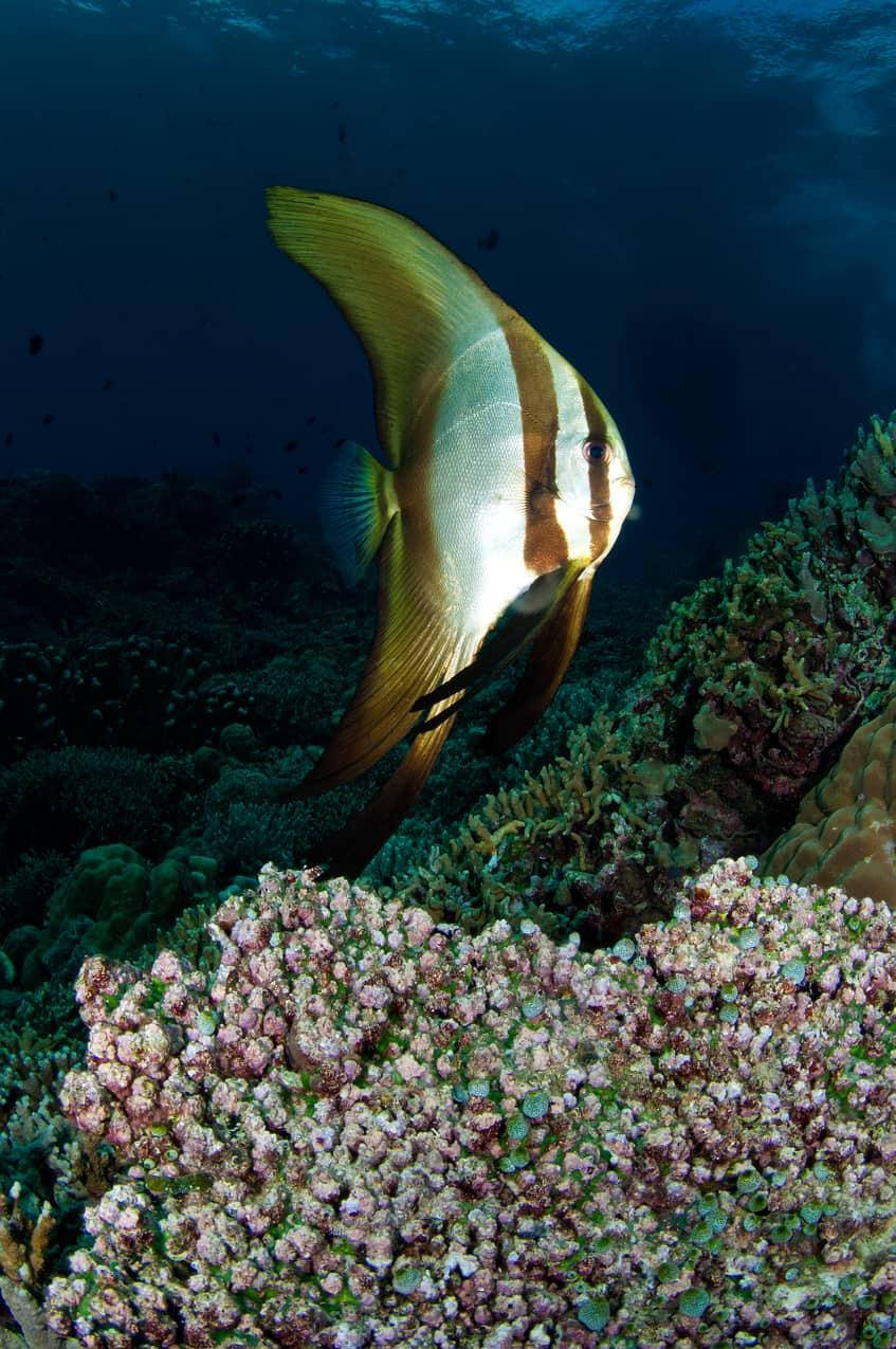 Golden spadefish juvenile
