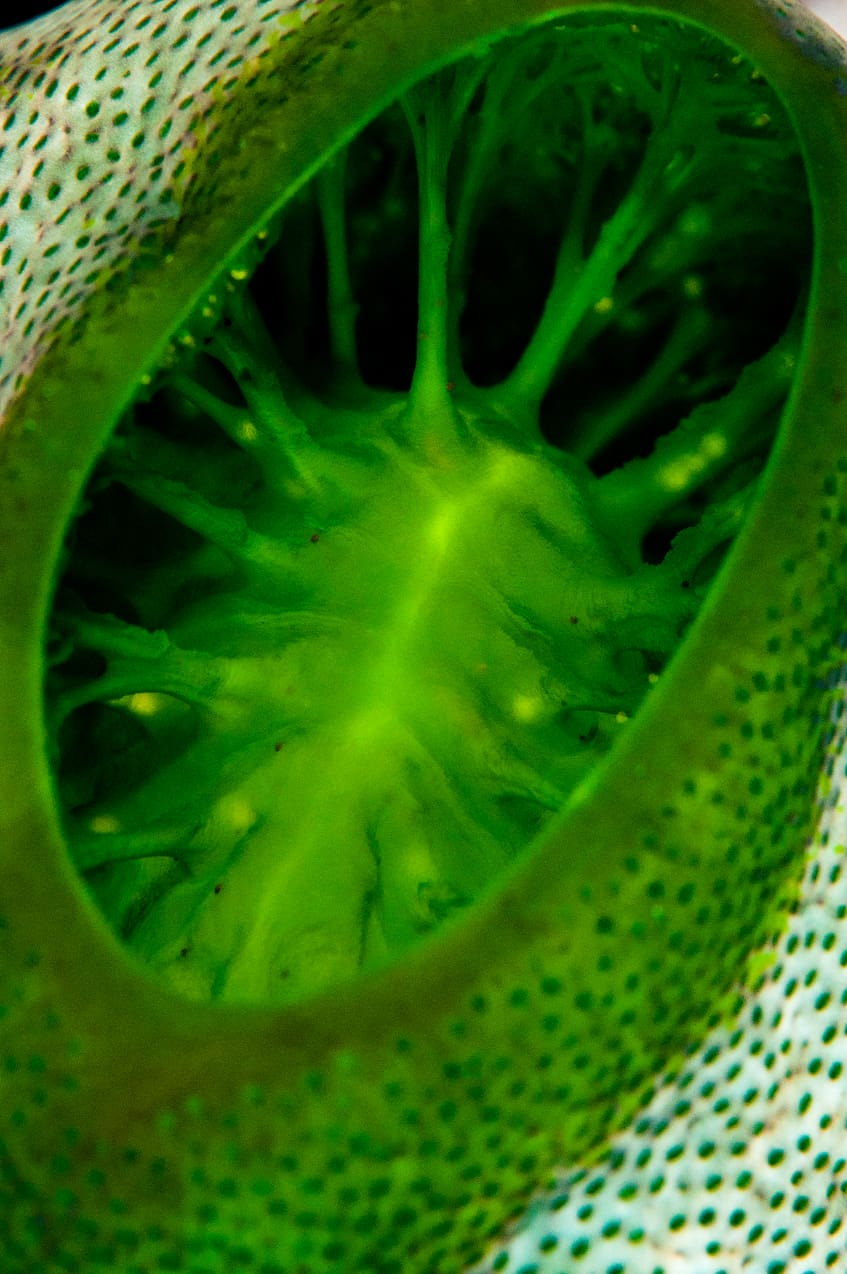 Green tunicate