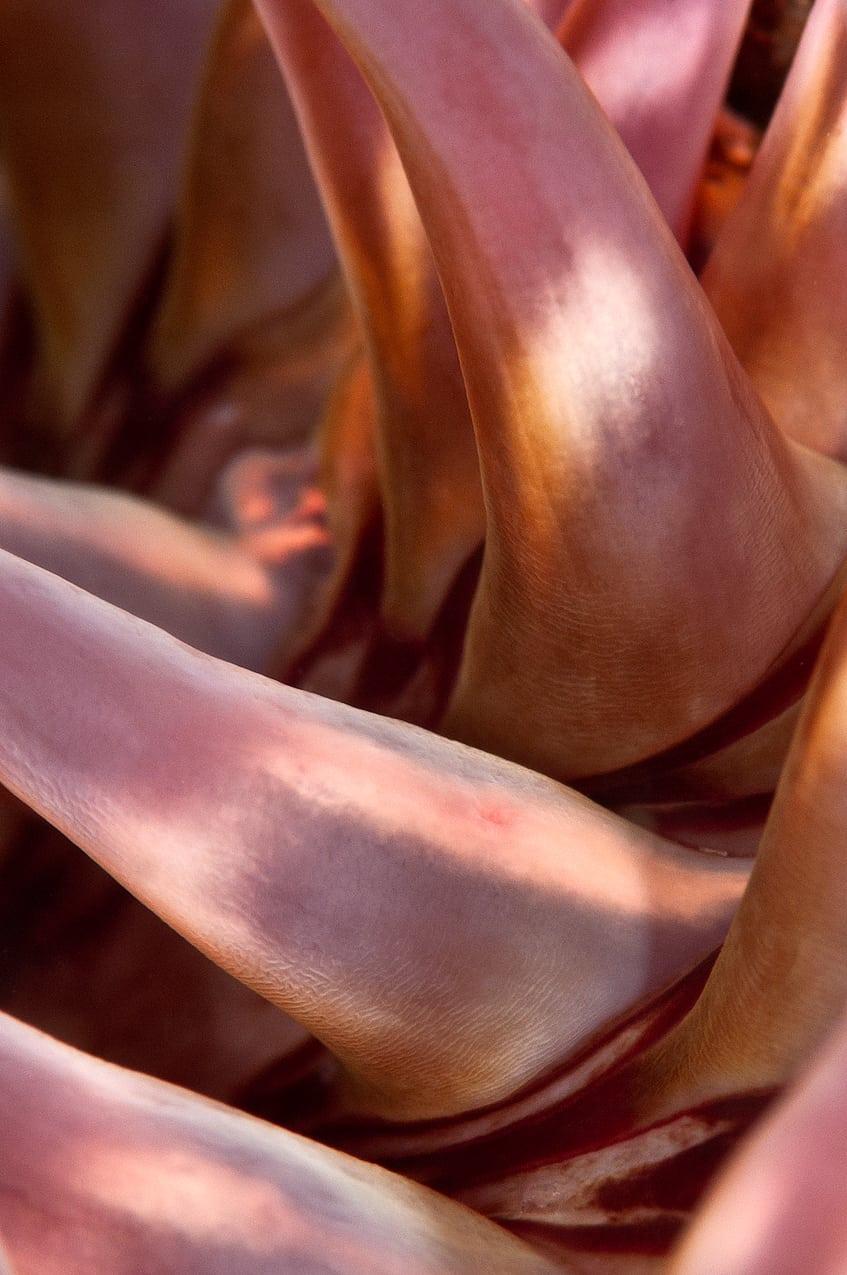 Rose anemone1