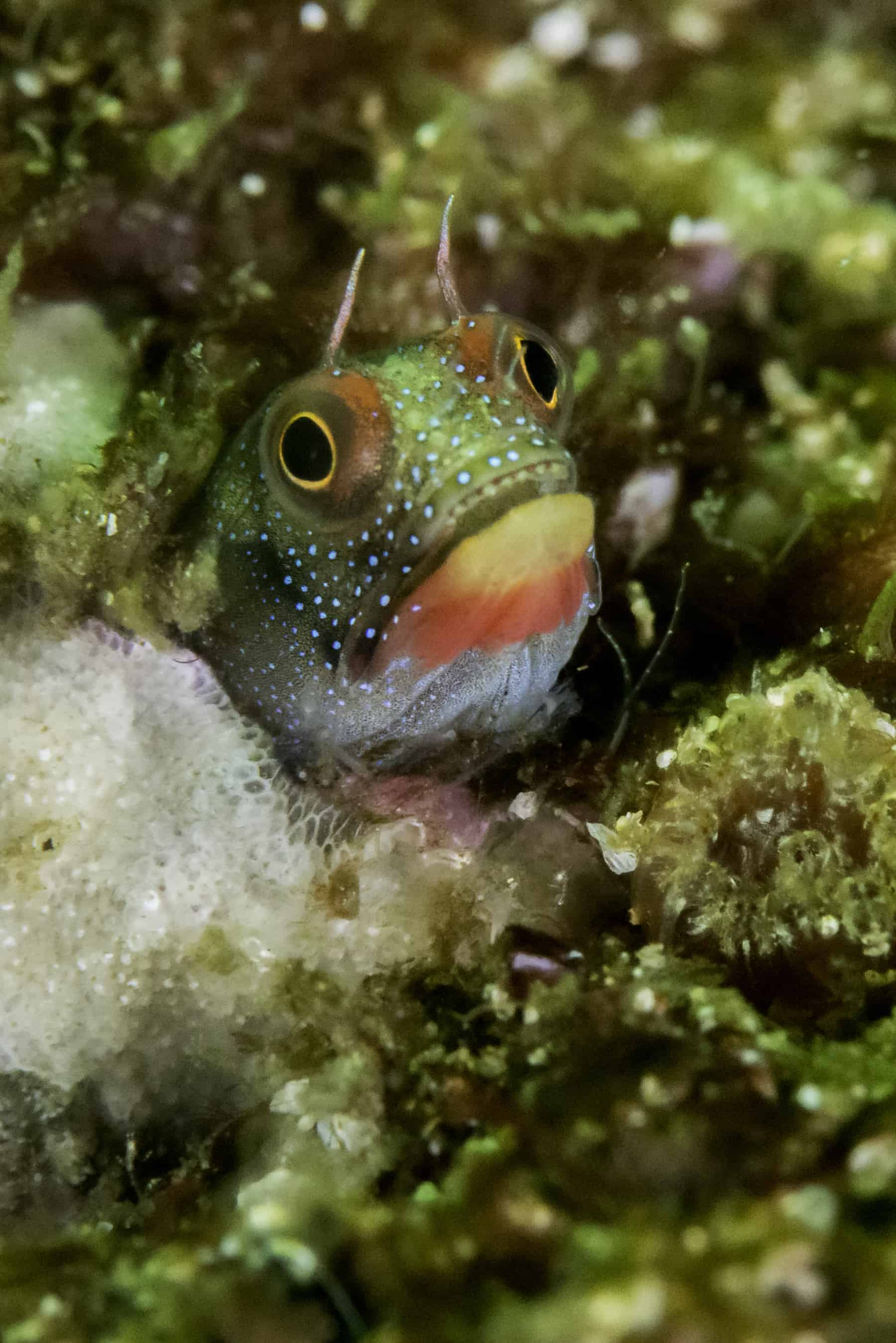 Mexican barnacle blenny