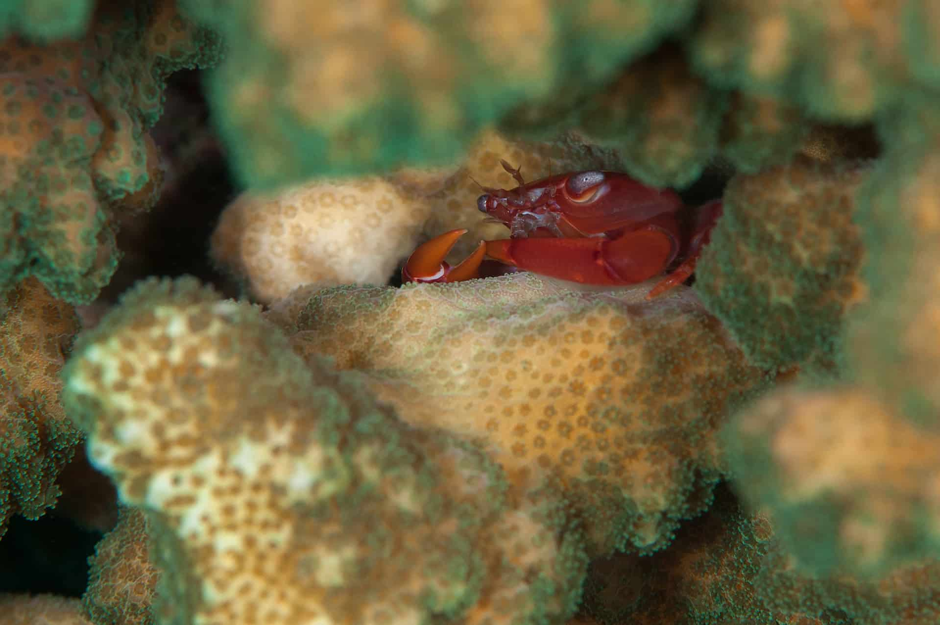 Yellow-dot guard crab